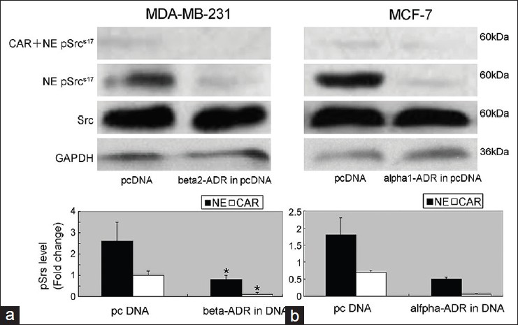 Figure 5: CAR inhibited Src activation by blocking alpha/beta ADR in breast cancer cells. The data are presented as mean ± SD of three independent experiments. Compared with pcDNA group, *<i>P</i><0.05. ADR = Adrenergic receptor