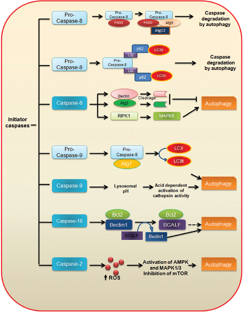 relationship between caspases and apoptosis