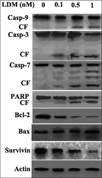 Figure 6: Cells were cultured with lidamycin at different concentrations for 48 h and then lysed and subjected to western blotting as described in materials and methods. Casp = Caspase; CF = Cleaved fragment