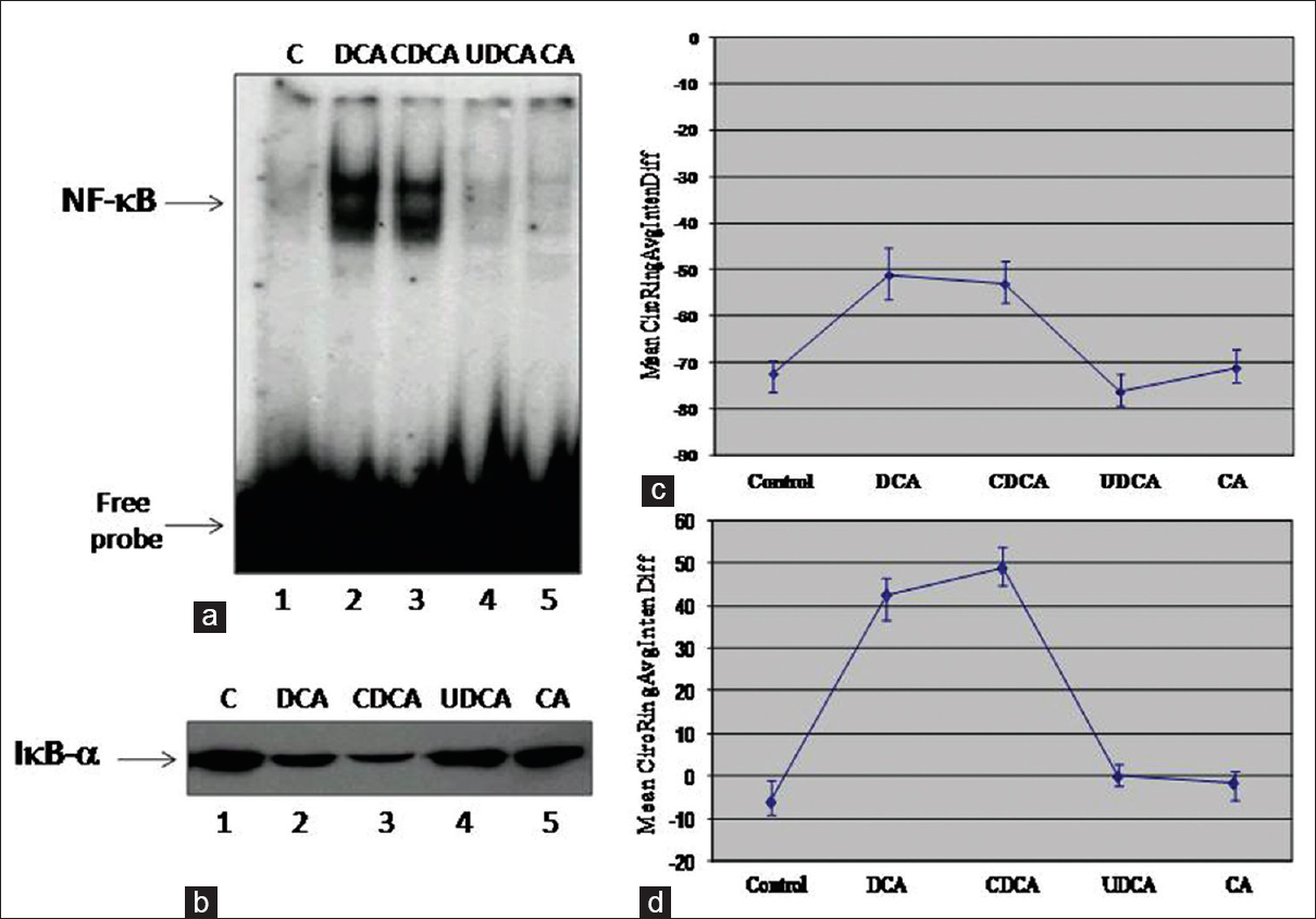 Figure 1: Bile acids induce nuclear factor-kappa B in esophageal epithelial cells. (a) Effect of bile acids on nuclear factor-kappa B DNA-binding activity. OE33 cells were treated with bile acids deoxycholic acid, cholic acid, chenodeoxycholic acid, lithocholic acid and ursodeoxycholic acid at 300 μM for 2 h, nuclear extracts were prepared and analyzed by gel shift assay (as described under Experimental Procedures Section). (b) Effect of bile acids on IκB-α protein levels. OE33 cells were treated with 300 μM deoxycholic acid, cholic acid, chenodeoxycholic acid, lithocholic acid or ursodeoxycholic acid and Western blot analysis for IκB-α detection were performed. β-actin was used as a loading control. Experiments were performed 3 times with similar results and a representative gel is shown. High content analysis of nuclear factor-kappa B nuclear translocation by bile acids in OE33 cells (c) and SKGT-4 cells (d). SKGT-4 or OE33 cells were treated with different bile acids (deoxycholic acid, cholic acid, chenodeoxycholic acid, cholic acid or ursodeoxycholic acid) at 300 mM for 2 h. Mean from 3 wells of the difference in nuclear factor-kappa B fluorescence intensities (CircRingAvgIntenDiffCh2) is shown