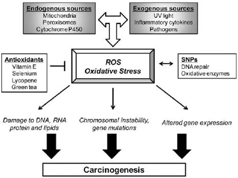 Figure 1: Endogenous and exogenous sources of reactive oxygen species and their role in the development of cancer